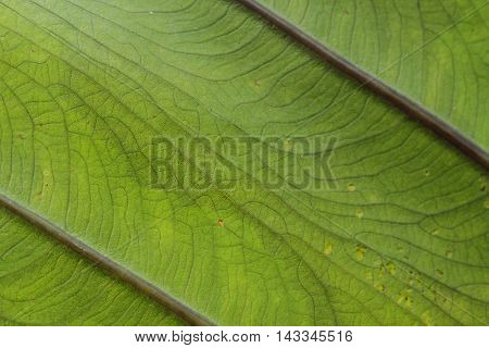 Close up of a green leaf with veins.