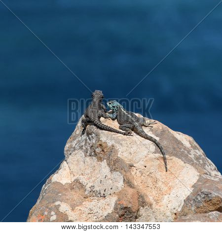 Black Girdled Lizard and Southern Rock Agama on a rocky outcrop over the ocean in Southern Africa