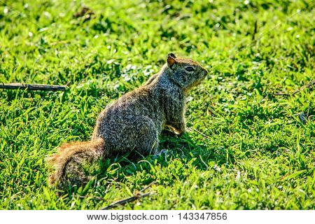 Close Up Squirrel On Grass