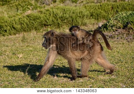 A Chacma Baboon mother foraging with her baby in Southern Africa