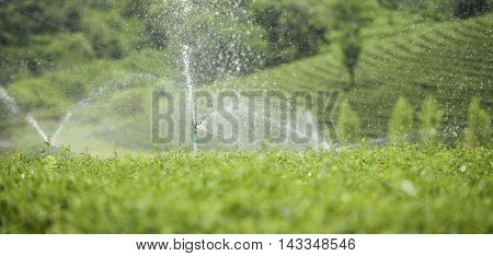 Sprinkler system in a tea farm field.
