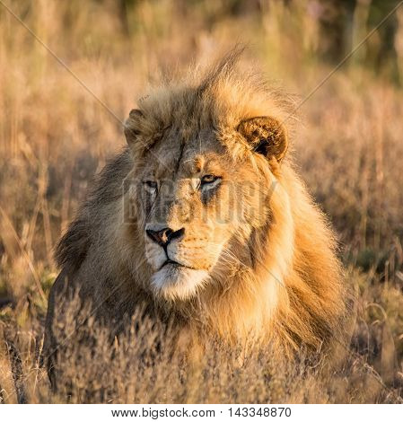 A closeup portrait of a male Lion at sunrise in the Southern African savanna