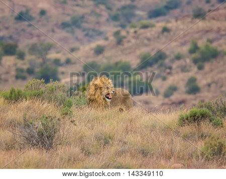 A male Lion roaring in the Southern African savanna