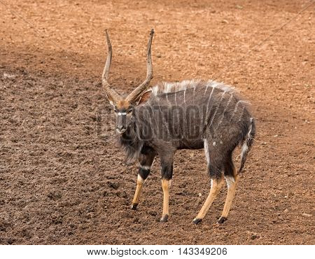 A Nyala bull standing by a watering hole in Southern African savanna