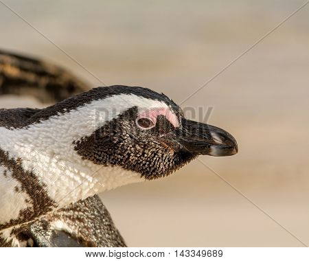 Portrait of an African Penguin in Southern Africa
