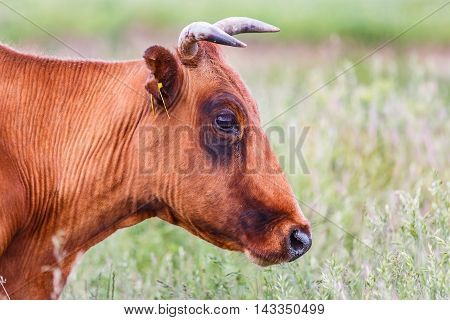 Portrait photo of brown cow in the meadow