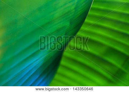 Blur abstract close up of banana leaves selective focus with shallow depth of field in the center of frame showing natural pattern and line's repetition