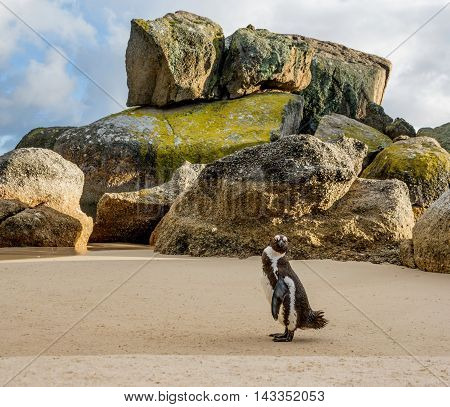 An African Penguin standing on a beach in Southern Africa