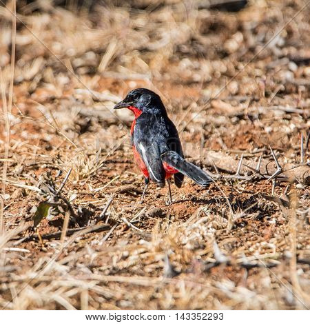 A Crimson-breasted Shrike on the ground in Southern African savanna