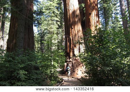 Giant sequoia forest, Calaveras Big Trees State Park, California