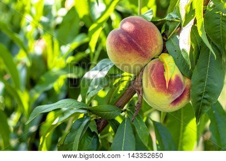 peach. Peaches on a tree Eco delicious peach