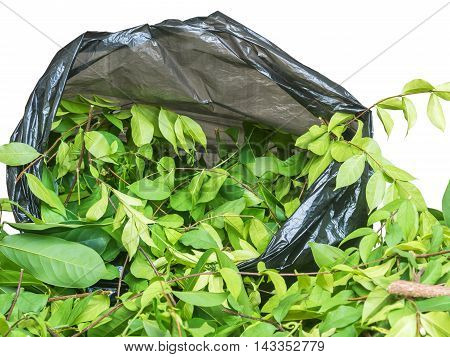 A pile of cut branchWrightia religiosa (Apocynaceae) and climbing ylang-ylangin garbage bage against white background with path