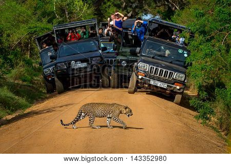 National parks Yala Sri Lanka - May 26 2016: Leopard crossing the road in front of the audience. Safari. See here for a leopard - a great rarity. We were lucky.