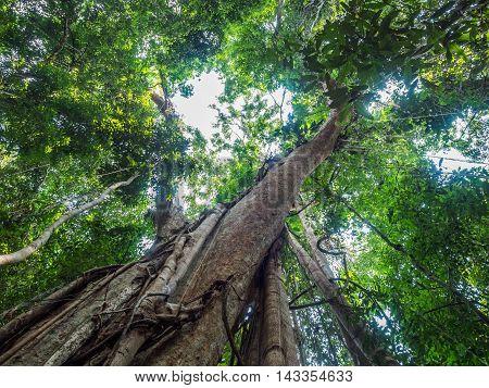 Old Giant Rain Tree
