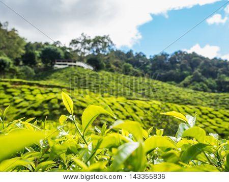 Tea Plantation In The Cameron Highlands