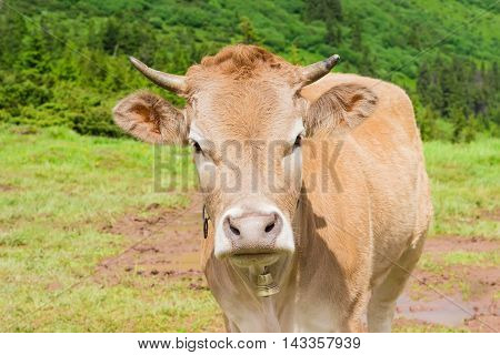 Light brown cow with a bell around his neck on a mountain pasture closeup
