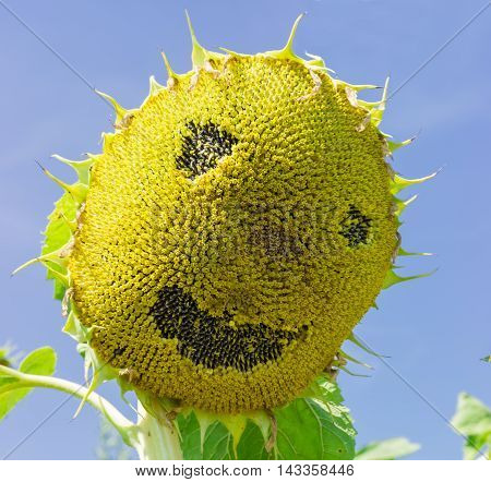 Head of ripening sunflower with made a smiling face on a field against the sky