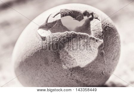 Cracked big chicken egg close-up in sepia