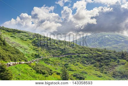 Flock of sheep which stretches along the trail on the hillside against the backdrop of mountain and sky with clouds