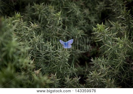 A male Common Blue butterfly on a thorny bush