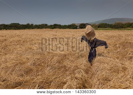 A scarecrow in a field of wheat on the Gower peninsula, Wales, UK