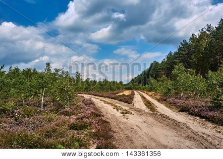 Sandy roads and clearing of heather in a forest in Poland
