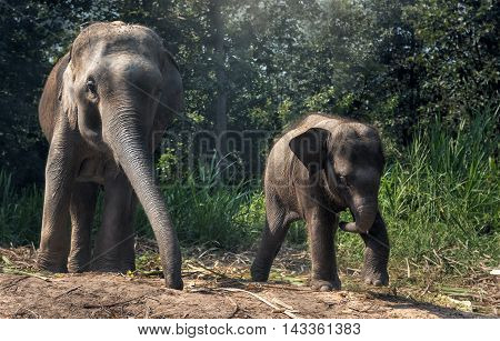 Baby Asia elephant chasing a bird with it's mother nearby