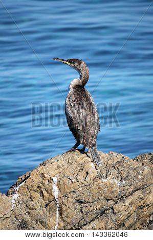 Cormorant at the sea in Mallorca island