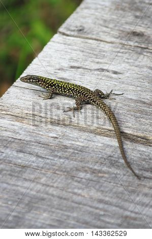 Green fluo and brown lizard on a wood taking a sunbath