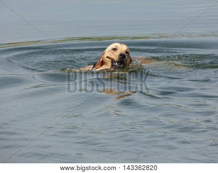 Labrador Retriever dog swimming in pond water