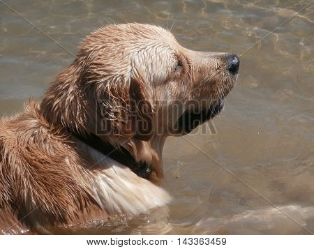 Labrador Retriever dog lying in pond water