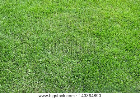 Mown natural green grass meadow as background in summer day close up horizontal view