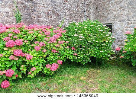 colorful hortensia bushes seen in Brittany France