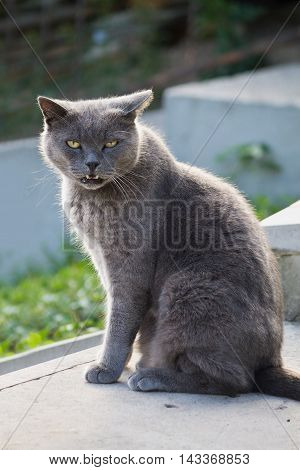 mewing gray cat with yellow eyes closeup