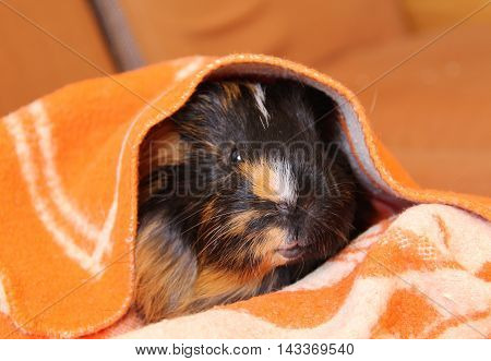 cute black and brown guinea pig relaxing in the orange and white blanket