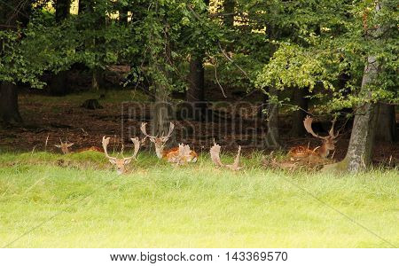 fallow deer male with big horns standing on the meadow