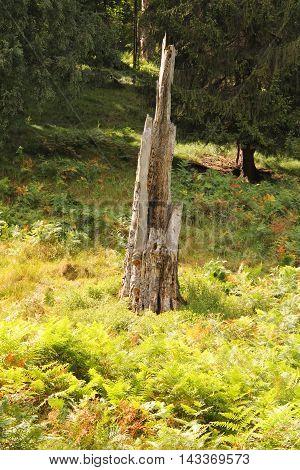 broken old trunk of tree in the fern