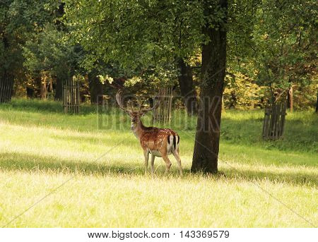 fallow deer male with big horns standing under the solitary tree on the meadow