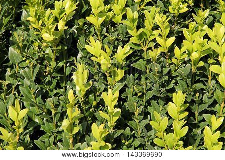 close photo of twigs of boxwood with fresh green leaves