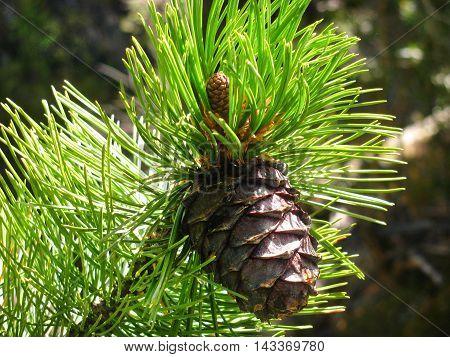 Collection of mountain Altai plants. Cedar Cone.