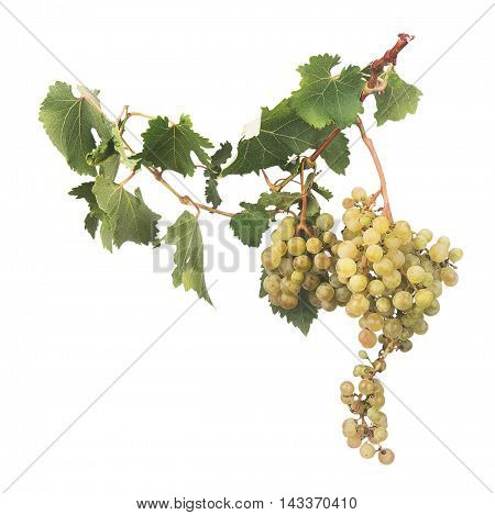 grape branch with leaves isolated on the white background