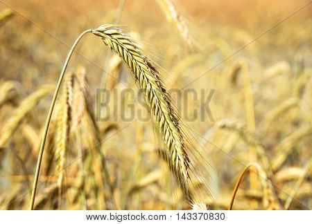 Golden rye field or wheat field in the sun. Ripe corn crop with selective focus and copy space.