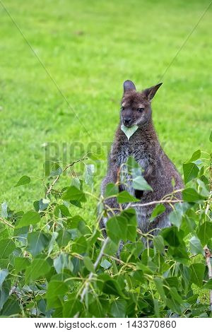 Kangaroo red-necked wallaby in the wild in a clearing