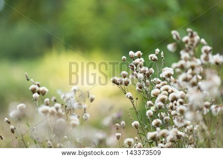Thistle Withered Flowers.