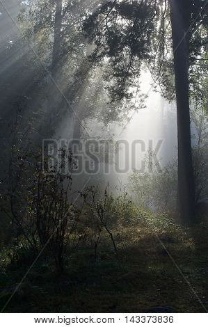 Misty morning in forest with sun rays