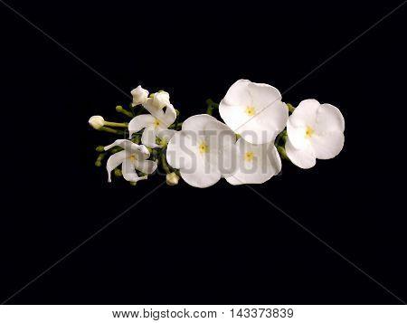 Beautiful white gardenia flower on black background