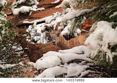 Desert Bighorn Sheep in the vast wilderness of Zion National Park in the state of Utah