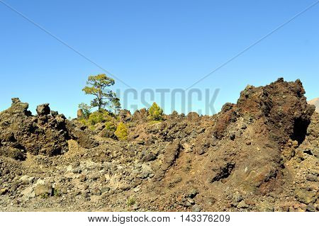 Trees growing in volcanic rock in Mount Teide National Park in Tenerife