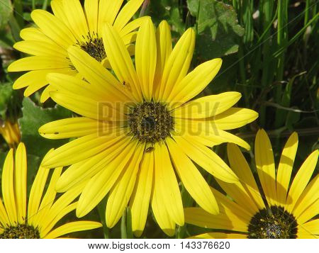 Wild Yellow Spring Flowers, Grow Along The West Coast Of South Africa