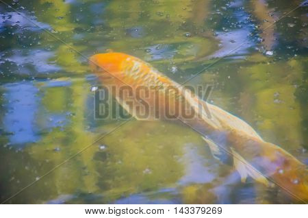 Carp Koi Fish Under The Water